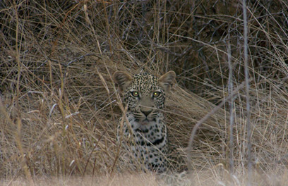 Juvenile leopard at dusk